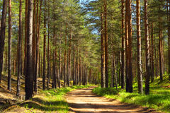 Pine forest.Forest road. Royalty Free Stock Photos