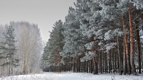 Pine forest in a frosty winter day on thes Voltga coast. In Russia Royalty Free Stock Image