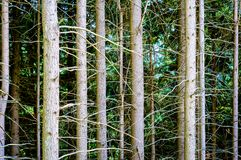 Pine forest backfround stock images