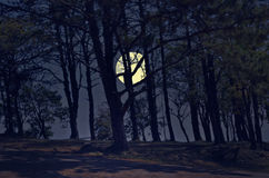 Pine forest with full moon in the evening. Pine forest on the mountain with full moon in the evening Royalty Free Stock Image
