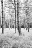 Pine forest with grass. Pine forest in summer with grass tapestry - black and white - vertical Stock Photography