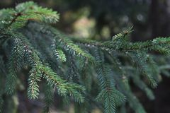 Pine in the forest green branch stock image