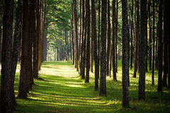 Pine forest with green grass Royalty Free Stock Photography