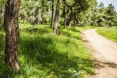 Pine forest with green grass and thekking path on sunny summer d stock images