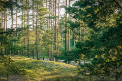 Pine forest. Green pine forest landscape in Latvia, Europe stock image