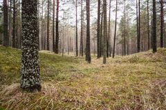 Pine forest with green moss in autumn. Landscape Royalty Free Stock Photo