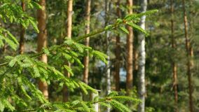 Green needles Fir Tree. Pine forest green needles Fir Tree in the foreground a sunny day, camera motion stock video footage