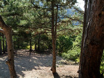 Pine Forest  Green trees from mountain. Crimea Royalty Free Stock Image