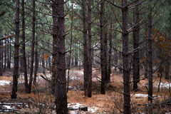 Pine Forest. This grove of pine trees is in Central Wisconsin royalty free stock photos