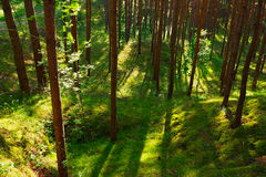 Pine trees in the forest growing in Pomerania, northern Poland. Royalty Free Stock Images