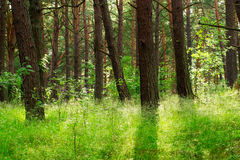 Pine trees in the forest growing in Pomerania, northern Poland. Stock Photography