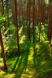 Scots or scotch pine Pinus sylvestris trees in the forest growing in Pomerania, northern Poland. Royalty Free Stock Images