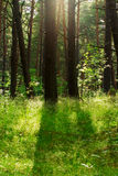 Pine trees in the forest growing in Pomerania, northern Poland. Royalty Free Stock Image
