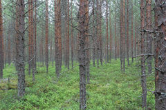 Pine forest Stock Image