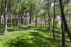 Pine forest with hammocks. Hammocks  in a green garden with pine trees Royalty Free Stock Photos
