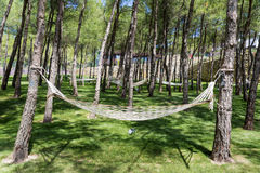 Pine forest with hammocks. Hammocks  in a green garden with pine trees Stock Photography