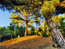 Pine Forest on Hierro Royalty Free Stock Photography