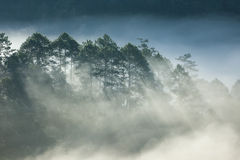 Pine forest on high mountain Royalty Free Stock Photo
