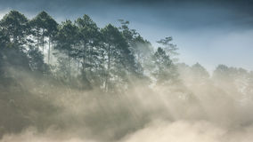Pine forest on high mountain Royalty Free Stock Images