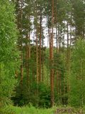 Pine forest with high trees Stock Photography