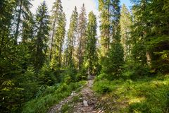 Pine forest and hiking trail in the mountains. Landscape with pine forest and hiking trail in the mountains Royalty Free Stock Image