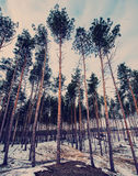 Pine forest in a hilly area Royalty Free Stock Image