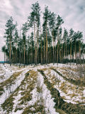 Pine forest in a hilly area Stock Photography