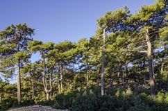 Pine forest illuminated with morning sun. Trees are shot close-up Royalty Free Stock Photography