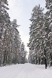 Pine Forest In Snow Stock Photo