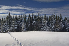 Pine Forest In Winter Time Royalty Free Stock Images