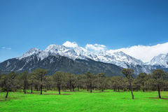 Pine forest and Jade Dragon Snow Mountain, Lijiang, Yunnan China Stock Photos