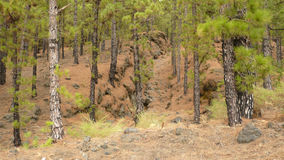 Pine forest in Jedey. (La Palma-Canary Islands Royalty Free Stock Photo