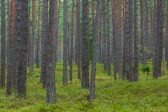 Pine forest in Jurmala stock images