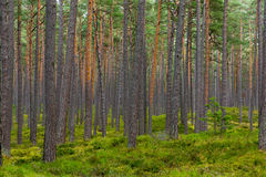 Pine forest in Jurmala Royalty Free Stock Photography