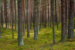 Pine forest in Jurmala Stock Photo