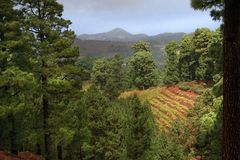 Pine forest of La Palma Royalty Free Stock Image