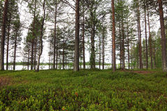Pine forest and lake Stock Photography