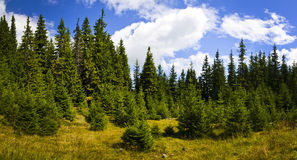 Pine forest landscape. Panorama landscape with pine forest in Transylvania, Romania