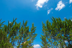 Pine forest landscape Royalty Free Stock Images
