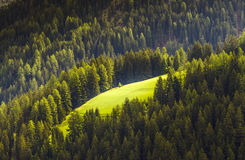 Pine Forest. Landscape of Pine Forest in Dolomites, Italy Stock Image