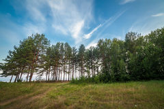 Pine forest. Landscape at Rybinsk Reservoir, Russia Stock Image