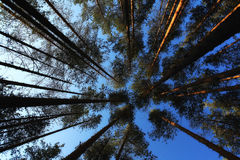 Pine forest landscape Royalty Free Stock Photo