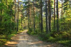 Pine forest landscape Stock Images