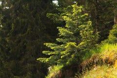Pine forest landscape Stock Photos