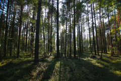 Pine forest landscape Royalty Free Stock Photography