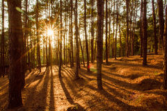Pine forest with the last of the sun shining through the trees Royalty Free Stock Images