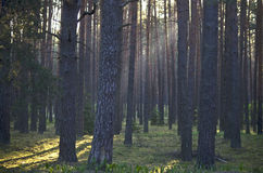 Pine forest. With the last of the sun shining through the trees Royalty Free Stock Photography