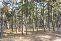 Pine forest with the last of the sun shining through the trees. Huge trees in a pine forest. The sun shines very brightly Royalty Free Stock Image