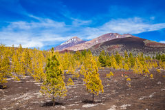 Pine forest on lava rocks at the Teide National park Stock Photography