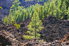 Pine forest on lava rocks at the Teide National Park in Tenerife Stock Image